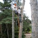 Sectional dismantle of Black Pine or Pinus nigra